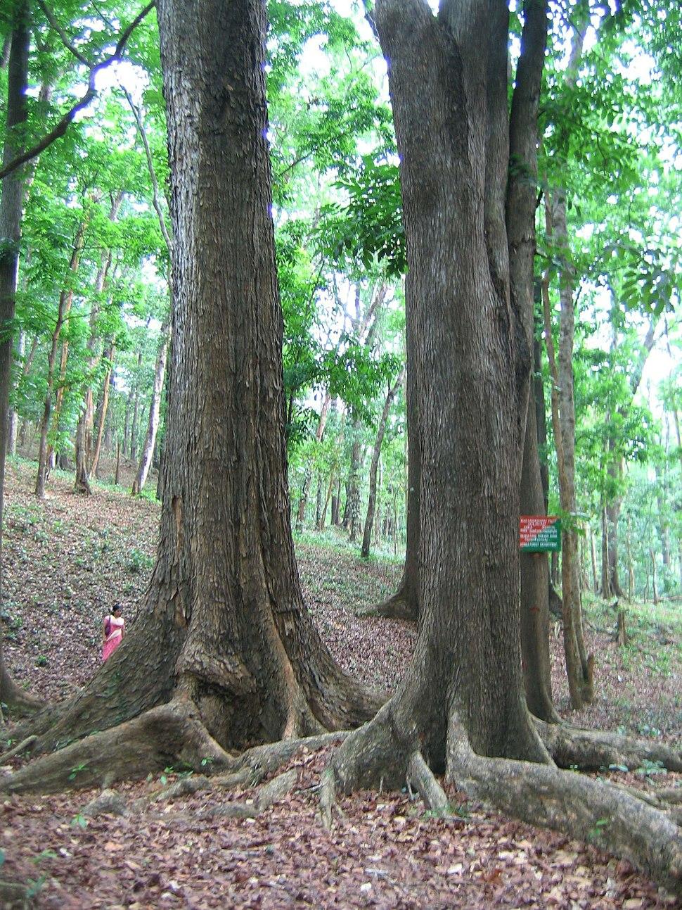 Mahagoni Tree