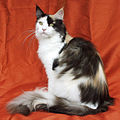 Maine Coon female.jpg