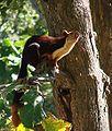 Malabar Giant Squirrel-Dogra.jpg
