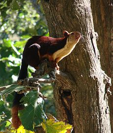 Malabar Giant Squirrel-Dogra.jpg