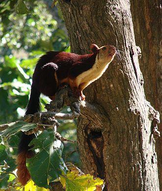 Oriental giant squirrel - Indian Giant Squirrel (Ratufa indica)
