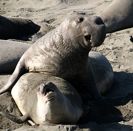 Male and female northern elephant seal, the male being larger with a big proboscis Male and female Mirounga angustirostris 2.jpg