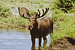 Male moos stands in water.jpg