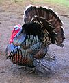 Male north american turkey supersaturated.jpg