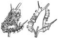 Malpighi Gymnosporangium clavariiforme.png