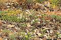 Malta - Ghajnsielem - Comino - Asteriscus aquaticus 06 ies.jpg