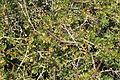 Malta - Mgarr - Ghain Tuffieha - Il-Karraba - Periploca angustifolia 02 ies.jpg
