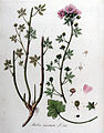 Malva moschata — Flora Batava — Volume v10.jpg