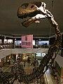 Mamenchisaurus hochuanensis skull and neck at the IVPP.jpg