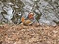 Mandarinente März 2011 - panoramio.jpg