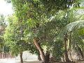 Mango trees.jpg