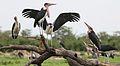 Marabou Stork, Leptoptilos crumeniferus, at the aptly named Marabou Pan, Savuti, Chobe National Park, Botswana (31943866644).jpg