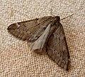 March Moth. Alsophila aescularia. (4502421567).jpg