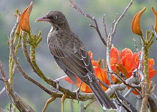 Pearly-eyed thrasher species of bird