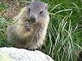 Marmot young3.JPG