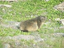 Marmotte près de la route entre Bonneval-sur-Arc et le col de l'Iseran