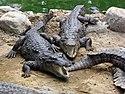 Marsh Crocodiles basking in the sun.JPG