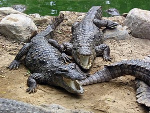 Madras Crocodile Bank Trust - Marsh crocodiles basking in the sun