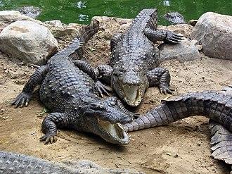 Mugger crocodile - Marsh crocodiles in captivity in CrocBank