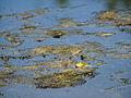 Marsh frog (14379107772).jpg