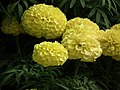 Marygold from Lalbagh flower show Aug 2013 7899.JPG