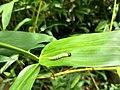 Matapa aria, Common branded redeye, chenkanni(Caterpillar) .jpg