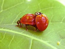 Mating ladybirds-Cycloneda-sanguinea cropped.jpg