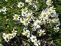 Matricaria chamomilla flower (30).jpg