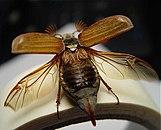 Maybug.jpg