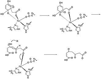 Homogentisate 1,2-dioxygenase - Image: Mech 02