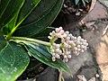 Medinilla myriantha 39.jpg