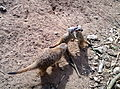 Meerkats at Belfast Zoo.jpg