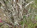 Melaleuca elliptica (bark).JPG