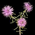Melaleuca sclerophylla - Flickr - Kevin Thiele.jpg