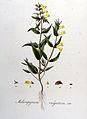 Melampyrum vulgatum — Flora Batava — Volume v8.jpg