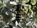 Melangyna labiatarum (female) - Flickr - S. Rae (16).jpg
