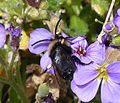 Melecta albifrons. Common Mourning Bee - Flickr - gailhampshire (6).jpg