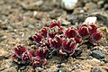 Mesembryanthemum crystallinum on Lanzarote, June 2013 (3).jpg