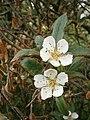 Mespilus germanica RHu.JPG