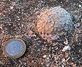 Messinian rhodolith.JPG