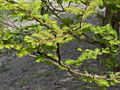 Metasequoia glyptostroboides(02).jpg