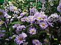 Michaelmas daisy or Aster amellus from Lalbagh Flowershow - August 2012 4727.JPG