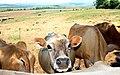 Milk cows at Underberg cheese factory - panoramio.jpg