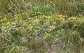 Mimulus primuloides primrose monkeyflower hummock.jpg
