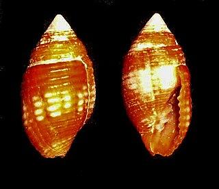 <i>Pseudonebularia chrysalis</i> species of mollusc