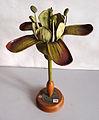 Modell der Blüte von Ribes grossularia (Ribes uva-crispa, Stachelbeere) -Brendel Nr. 11-.jpg