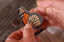 Monarch Butterfly Danaus plexippus Untagged 3008px.jpg