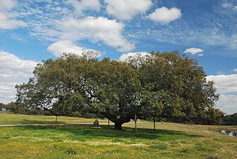 Monumento natural Encina de la Dehesa San Francisco 2.jpg
