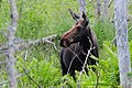 Moose (20638447271).jpg