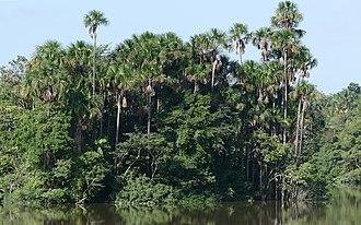 Mauritia flexuosa - A Mauritia flexuosa stand in French Guiana.